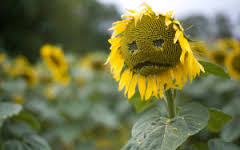 unhappysunflower